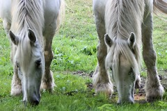 1719 BESSONS OU BESSONNES ? Y VOIR CLAIR ! (rustinejean) Tags: rustine cheval blanc horse twins besson jumeaux animal nature verdure