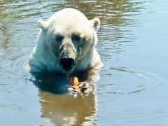 Polar Bear Felix (BrigitteE1) Tags: eisbär aquazoofriesland polarbear polarbearfelix polarbearnanu ijsbeer holland netherlands naturteich bear bär wasser water naturalpond teich pond specanimal yummy cool