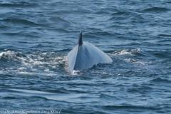 AHK_6785 (ah_kopelman) Tags: 2018 balaenopteraphysalus cresli creslivikingfleetwhalewatch finwhale montaukny vikingfleet vikingstarship whalewatch
