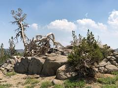 Nature's Art (Calochortus) Tags: winnemuccatrail tree carsonpass alpinecounty sierras eldoradonationalforest takenwithiphone naturesart