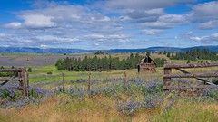 Abandoned Fence Vetch 9425 B (jim.choate59) Tags: abandoned elginoregon unioncountyoregon jchoate on1pics fence vetch hairyvetch landscape nezpercewar historic d610 scenic