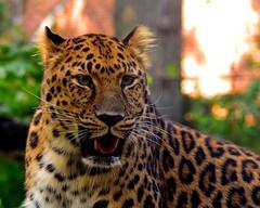 Amur Leopard (Robert Scifo Image's) Tags: wildlife amur leopard africa endangered species safari cats big photography kodachrome nikon staten island zoo new york