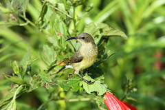 Nectarinia kilimensis ♀ (Bronze Sunbird) - Isunga, Uganda. (Nick Dean1) Tags: animalia chordata aves sunbird bronzesunbird nectariniakilimensis thewonderfulworldofbirds birdperfect birdwatcher kibalenationalpark kibale uganda isunga