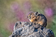 Chillin' Amongst The Fireweed (TNWA Photography (Debbie Tubridy)) Tags: americanpika pika wildlife rabbitrelative animal forager herbivore wild summer rock sunning warmingup nature habitat environment behavior wilderness activity relaxing colorado highaltitude outdoors debbietubridy tnwaphotography ochotonaprinceps