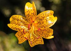 American Tiger Lily (San Francisco Gal) Tags: lilium liliumtigriunumlanciflium tigerlily flower fleur bloom blossom flora bokeh macro