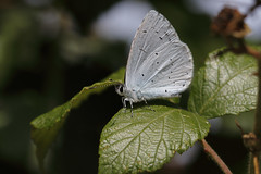 Holly Blue (Chris B@rlow) Tags: celastrinaargiolus blue hollyblue bluebutterfly butterfly lepidoptera leightonmoss lancashire rspb canon7dmarkii sigma105macro insect bug invertebrate wildlife nature