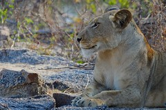 young Lioness on rocky riverbed (cirdantravels (Fons Buts)) Tags: carnivora carnivore feline felidae panthera leo leeuw lion löwe bigcat predator lioness kafue