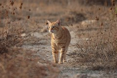 IMG_0009 Rubio, Mallorca (Fernando Sa Rapita) Tags: mallorca baleares sarapita rubio cat gato gatito pet mascota tamron tamron150600 teleobjetivo canon eos200d canoneos