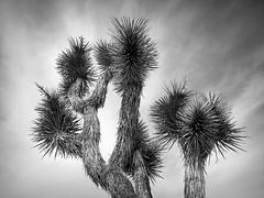 Joshua Tree (Yucca brevifolia) (PeterCH51) Tags: joshua tree joshuatree nationalpark joshuatreenationalpark jtnp yuccabrevifolia yucca palmlilie california usa america bw blackwhite monochrome iphone peterch51