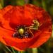 Klatschmohn mit Besucher (Armin_vP) Tags: blüten frankreich heuschrecken insekten mohn pflanzen regionardeche