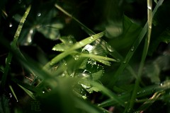 grass after rain (Ola 竜) Tags: wet grass green leaves droplets water drops dew raindrops greenery flora closeup 7artisans2518 fujifilmxt10 clover leaf foliage afterrain rainy reflections glossy