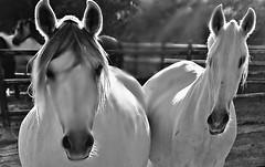 "Spanische Kartäuser Pferde ""Spanish Carthusian horses, effecte, 76383/10381 (roba66-on vacation) Tags: monochrome blackwhite bw blancoynegro swbw negro blackandwhite blancoenero byn bretoebranco einfarbig ""schwarzweis"" roba66 tier tiere animal animals creature fauna landschaft landscape paisaje nature natur naturalezza pferd horse cheval chevaux caballo trabalho tv movie effecte"