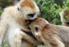 Golden Snub-nosed Monkey (Rhinopithecus roxellana) (cowyeow) Tags: china chinese asia asian shennongjia hubei shennongjiaforestrydistrict wildlife nature monkey monkeys endemic rare cute golden snubnosed rhinopithecusroxellana goldensnubnosedmonkey rhinopithecus roxellana snubnosedmonkey goldenmonkey forest play