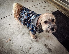 Wet Dog (PEEJ0E) Tags: water drenched rat drowned mutt rescue loyal pet dog wet raincoat rain maltese rusty