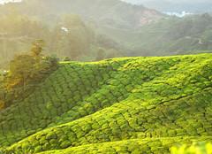 8H1_0272244 (kofatan (SS Tan) Tan Seow Shee) Tags: malaysia pahang cameronhighland copthornehotelsungeipalasbohplantation bharatteaplantation robinsonfall smokehouse brinchang tanahrata kofatan