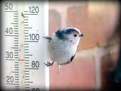 A quick temperature check! (Deida 1) Tags: bird thermometer window garden uk staffordshire temperature longtailedtit