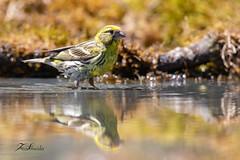 Serin cini (sfrancois73) Tags: oiseau faune affût jardin reflet drinkstation serincini