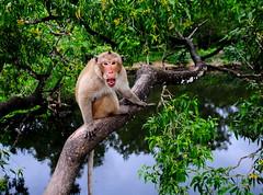 ,, Same Same ! ,, (Jon in Thailand) Tags: swamp jungle wildlife ape primate monkey alphamale themonkeytemple nikon nikkor d300 175528 pinhead conehead wildlifephotography reflection monkeyfangs monkeyears aggressiveprimate