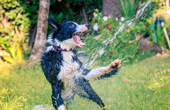 Coli is having a good time with the water (fried oreo cookie) Tags: bordercollie dog pet animal cute puppy playing young