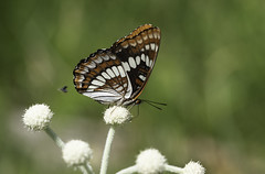 (Tony P Iwane) Tags: limenitislorquini butterfly insect lepidoptera lorquinsadmiral macro nevadacounty sagehen sagehencreekfieldstation