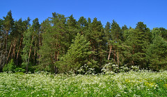 Apiaceae in front of the pinery (МирославСтаменов) Tags: russia kremyonki apiaceae pinery edge meadow