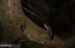 Pine Marten in Woodland (Alastair Marsh Photography) Tags: pine pinemarten pinemartens pineforest mammal mammals mammalsociety animal animals animalsintheirlandscape wildlife britishwildlife britishanimals britishanimal britishmammals britishmammal scotland scottishwildlife scottishmammals scottishmammal scottishhighlands nocturnal nocturnalwildlife nocturnalmammal nocturnalmammals night nightphotography nighttime wildlifeatnight cameratrap woodland woods wood forest trees tree