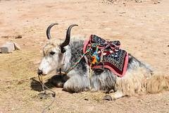 Yak, Tibet (1) (Prof. Mortel) Tags: tibet lake namtso yak