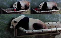 Bei Bei (What's this–an apple? No, smells like my security ball. It's awfully small but it's all I have, so I'll make do.) 2018-07-28 at 11.23.30–.24.29 AM (MyFoto:)) Tags: ccncby panda cub endangered vulnerable beibei smithsonian nationalzoo sleeping ball hammock