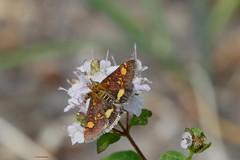 Pyrausta aurata (jehazet) Tags: vlinders pyraustaaurata muntvlindertje oregano
