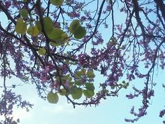 128 (en-ri) Tags: fiorri flowers boccioli blossoms sony sonysti cielo sky rosa verde foglie leaves albero tree