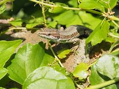 Beccata! (marcoViaggio) Tags: macro lucertola geco rettile gecko nature natura lagarto