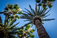 Palm Trees (Phil Roeder) Tags: losangeles california leica leicax2 lacma losangelescountymuseumofart trees palmtrees sky bluesky