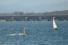 800_4686 (Lox Pix) Tags: queensland qld australia woodypoint hyc humpybongyachtclub winterbash foiling foilingcatamaran catamaran trimaran loxpix bramblebay boats