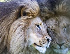 Lions (begineerphotos) Tags: lion malelion lions mane closeup portrait zoo calgaryzoo calgary 15challengeswinner beginnerdigitalphotographychallengewinner