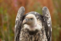 Radagast - Rüppell's Griffon Vulture (mmcclair) Tags: bird vulture prey world wings worldofwings radagast 2018 rain griffon rüppells gypsrueppell endangered scotland cumbernauld