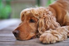 IMGP8269 (peter_schluter2002) Tags: dog rio pentax 50mm spaniel