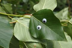 Silmad (Jaan Keinaste) Tags: olympussh1 eesti estonia loodus nature leht leaf silm eye