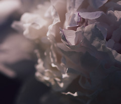 Peony vibe (Andrei Grigorev) Tags: peony flower botanical macro abstract details summer light