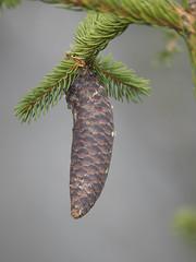 P8030025 (turbok) Tags: bäume fichte nadelbäume pflanze wildpflanzen zapfen