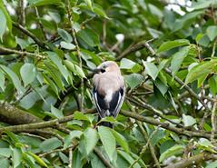 Eichelhäher (Tommes80) Tags: vogel eichelhäher deutschland baum wald tiere natur sony sonyalpha7iii vollformat