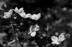 Boulder Raspberry (San Francisco Gal) Tags: oreobatusdelicious boulderraspberry rockymountainnationalpark rubusdeliciosus monochrome bw bokeh flower shrub flora bloom blossom