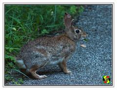 Bunny Rabbit (Crested Aperture Photography) Tags: bunnyrabbit rabbit centennialpark columbia maryland usa