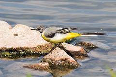 IMG_7798.jpg (TonyJ 3006) Tags: birds greywagtail places slimbridge