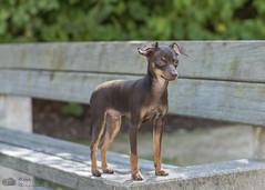 Ooligan à 5 mois (Philippe Bélaz) Tags: ooligan pragois ratierdeprague animal animaux animauxdecompagnie chien chiots famille portraitsanimalier été