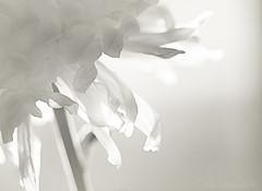 Petals (Elisafox22) Tags: elisafox22 sony ilca77m2 100mmf28 macro macrolens telemacro lens dof bokeh hmbt monochromebokehthursday flower petals monochrome blackandwhite monotone shadows bw mono greyscale elisaliddell©2018