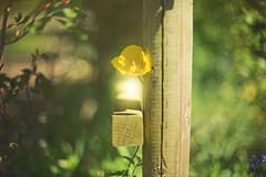 Sundrop... (KissThePixel) Tags: gold golden yellow fence fencefriday fencephotography fencebokeh woodenfence flower yellowflower bokeh bokehlicious august summer nikon garden light sunbeam sunlight nikondf