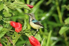 Cinnyris venustus ♂ (Variable Sunbird) - Isunga, Uganda. (Nick Dean1) Tags: animalia chordata aves passerine passeriformes kibalenationalpark kibale uganda isunga sunbird variablesunbird cinnyrisvenustus cinnyris