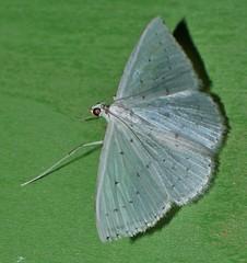 Speckled white geometrid moth Derambila sp Desmobarhrinae Geometridae Airlie Beach rainforest P1040284 (Steve & Alison1) Tags: speckled white geometrid moth derambila sp desmobarhrinae geometridae airlie beach rainforest