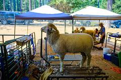 DSCF2092.jpg (RHMImages) Tags: xt2 sheep 4h carnival nevadacounty rides fuji countyfair grassvalley fujifilm fairgrounds