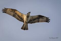spread those wings (wandering tattler) Tags: raptor bird wildlife birdofprey hawk hunter predator wellfleet capecod 2018